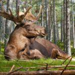 25 fakta om älgar – skogens konung