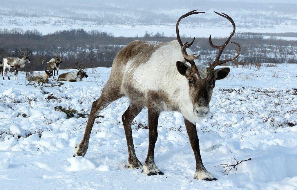 fakta om renar - ren i snö