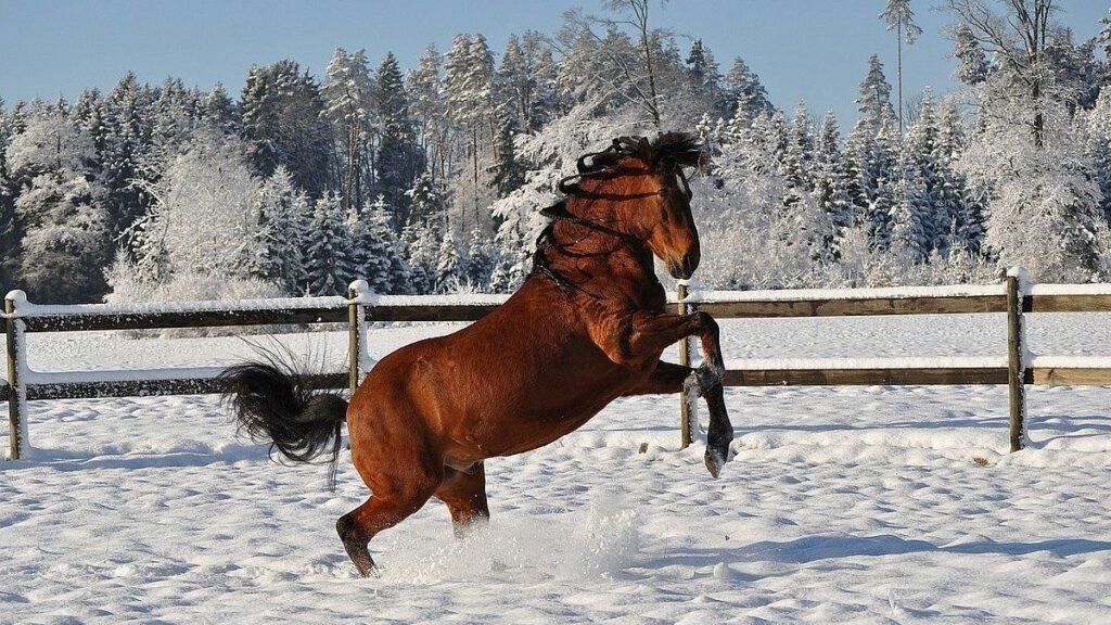 Häst i snö