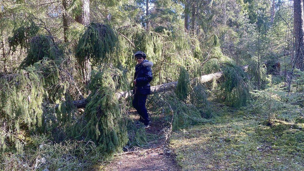 Kulfallet träd i Järvafältets naturreservat